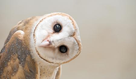 barns: common barn owl ( Tyto albahead ) head close up