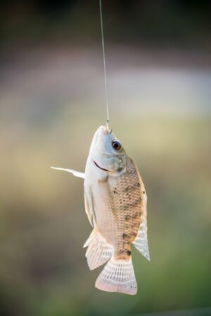oreochromis: Nile tilapia fish  (Oreochromis nilotica) hanging on hook Stock Photo