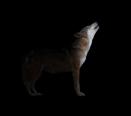 gray wolf howling in dark background with light