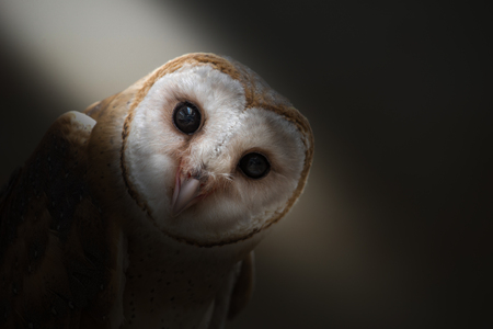 close  up: common barn owl ( Tyto albahead ) in dark background