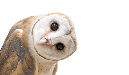 barns: common barn owl ( Tyto albahead ) head isolated on white background
