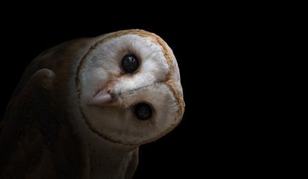 common barn owl ( Tyto albahead ) in dark background