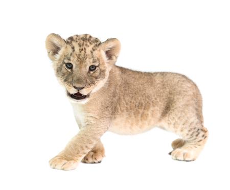 bebé león (Panthera leo) aislado en el fondo blanco