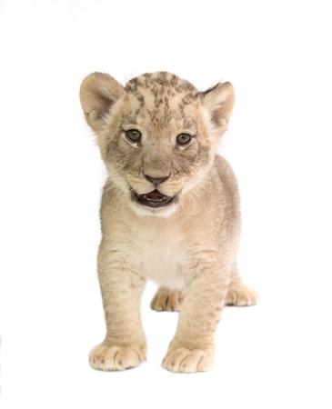 baby lion (panthera leo) isolated on white background