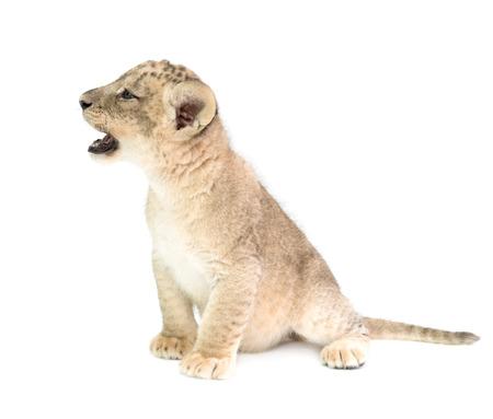 bebé león (Panthera leo) aislado en el fondo blanco Foto de archivo