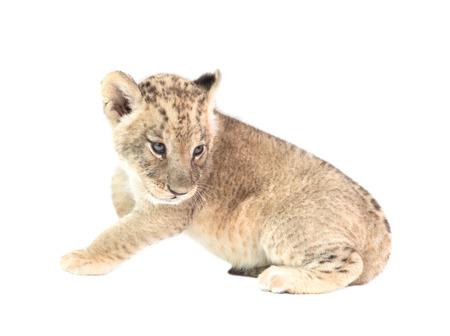 leon bebe: bebé león (Panthera leo) aislado en el fondo blanco