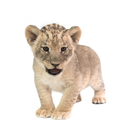 lion baby: baby lion (panthera leo) isolated on white background