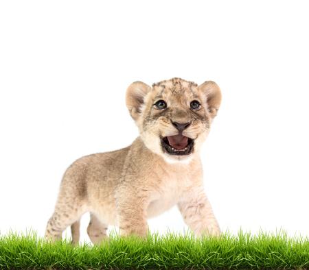 bebé león (Panthera leo), con hierba verde aislado en el fondo blanco