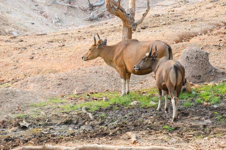 bos: banteng (Bos javanicus) resting near mud