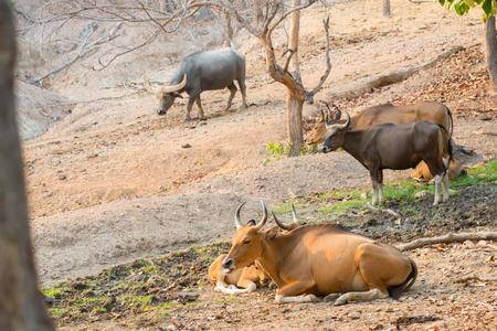 wild asia: banteng (Bos javanicus) resting near mud