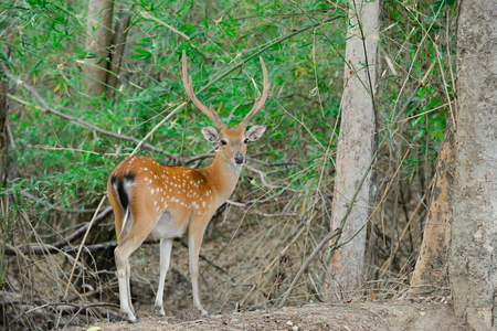 deer stand: sika deer stand alone in the forest