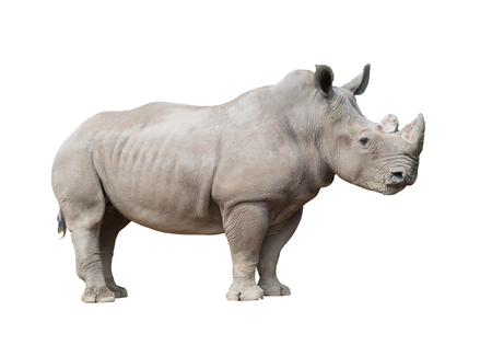 white rhinoceros, square-lipped rhinoceros isolated on white background