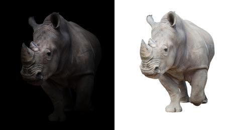 white rhinoceros, square-lipped rhinoceros in dark and white background Foto de archivo