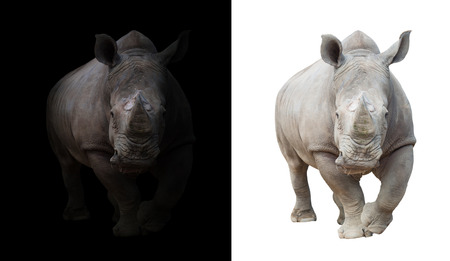 white rhinoceros, square-lipped rhinoceros in dark and white background 스톡 콘텐츠