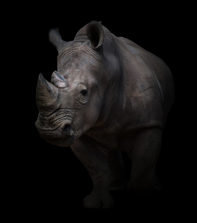 white rhinoceros, square-lipped rhinoceros in dark background Stock Photo
