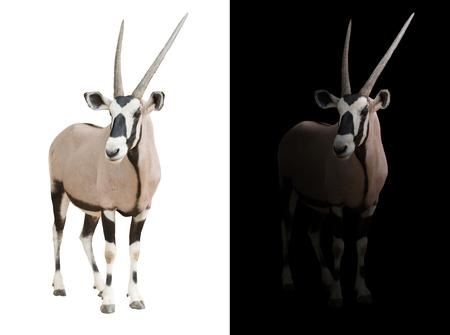 oryx or gemsbok standing in dark background Stock Photo