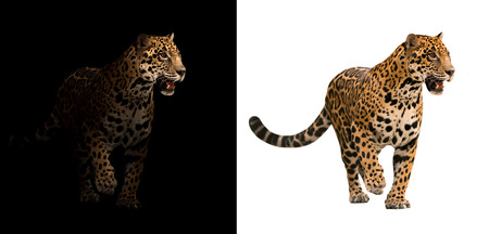 jaguar on black background and jaguar on white background Stock Photo - 60916570