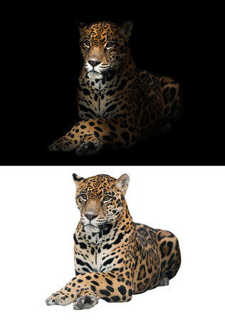 jaguar on black background and jaguar on white background