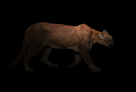 onca: puma (Panthera onca) in the dark with spotlight