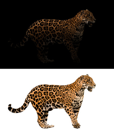 white cat: jaguar on black background and jaguar on white background