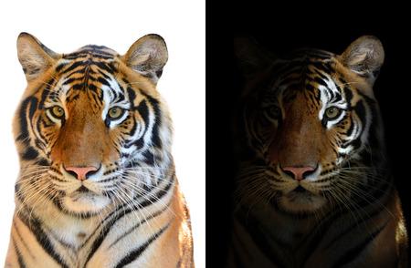 Bengale tijger in het donker en Bengalen tijger op witte achtergrond