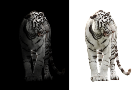 white bengal tiger in the dark and white bengal tiger on white background