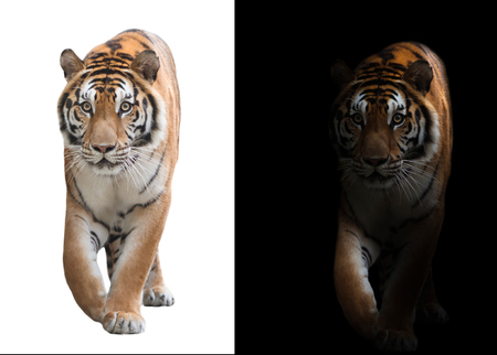 bengal tiger in the dark and bengal tiger on white background