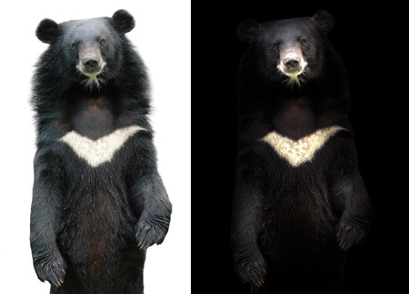 ursus: asiatic black bear in dark background and asiatic black bear on white