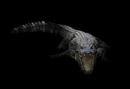 reptile skin: freshwater crocodile in the dark with spotlight