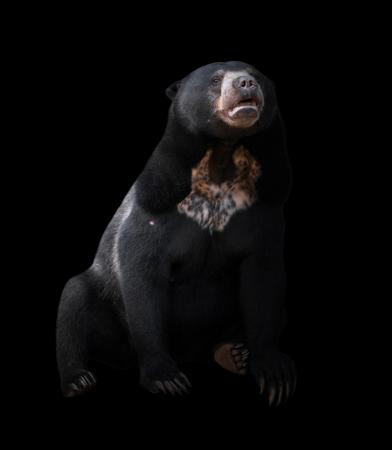 lowkey: malayan sun bear  in dark background, lowkey Stock Photo