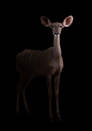 low prizes: greater kudu stand in the dark with spotlight