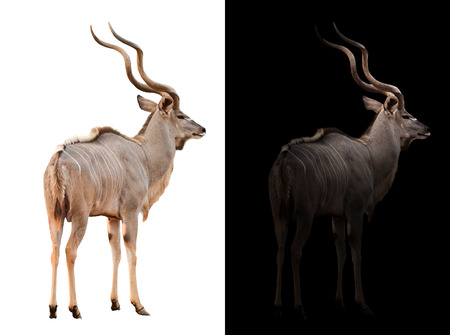 low prizes: greater kudu stand in the dark with spotlight and greater kudu isolated Stock Photo