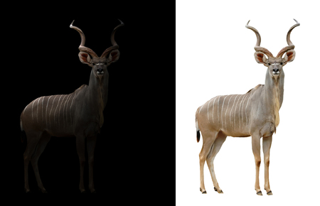 greater: greater kudu stand in the dark with spotlight and greater kudu isolated Stock Photo