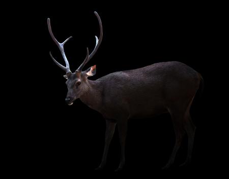 concealed: sambar deer in the dark with spotlight