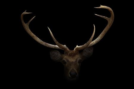elds deer in the dark with spotlight Фото со стока
