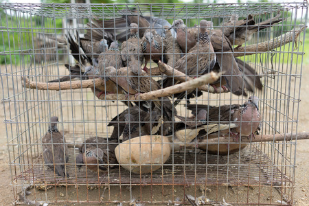 tightly: group of pigeon stay tightly in cage