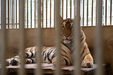 behind bars: tiger behind bars in a zoo cage