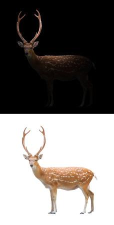 sika deer: sika deer isolated and sika deer in the dark