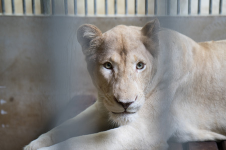 behind bars: lion behind bars in a zoo cage