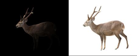 black tail deer: hog deer in the dark and hog deer isolated
