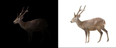 hog: hog deer in the dark and hog deer isolated