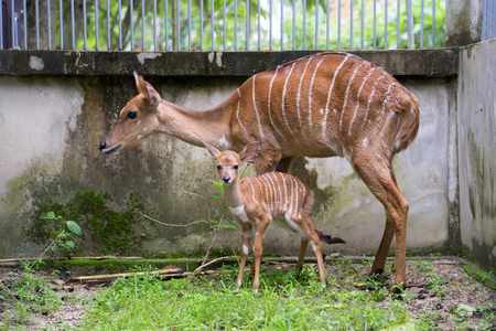 young nyala and mother in captivity Stock Photo