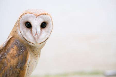 barns: common barn owl ( Tyto alba )