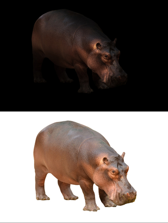 animales safari: hipopótamo en el hipopótamo oscuro y aislado en blanco