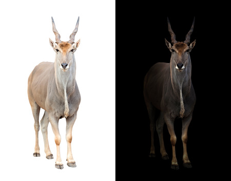 night dusk: eland standing in the dark with spotlight and eland isolated