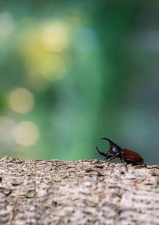 horn beetle: Rhinoceros beetle, Rhino beetle, Hercules beetle, Unicorn beetle, Horn beetle Stock Photo
