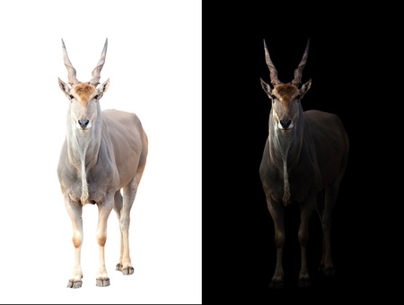 grazer: eland standing in the dark with spotlight and eland isolated