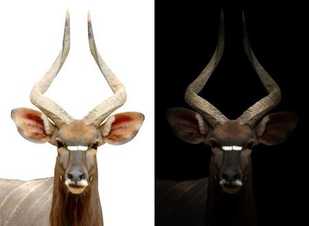black buck: male nyala in the dark and male nyala isolated