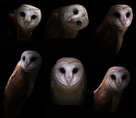 dark backgrounds: barn owl in the dark with spotlight