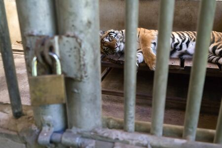 tiger in cage and key is lock